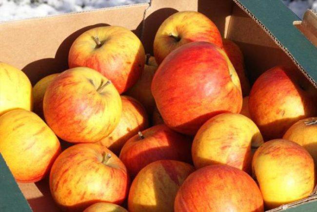 собранный урожай зимних яблок