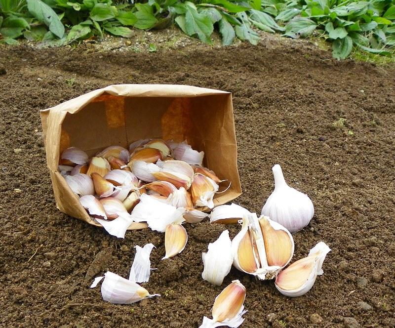 Почва под чеснок