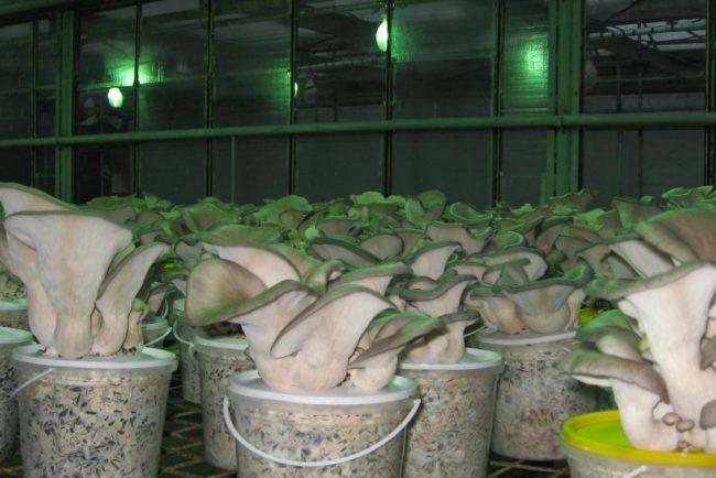 Выращивание мицелия дома
