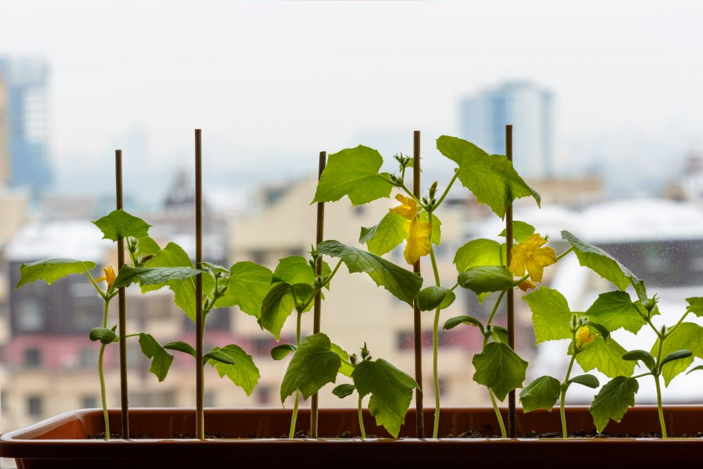 Огурцы на подоконнике: как вырастить урожай несмотря на зимнюю стужу