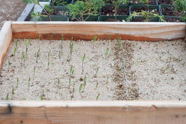 основные способы промораживания семян