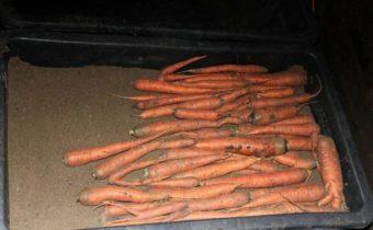 Морковь начала сыреть в погребе