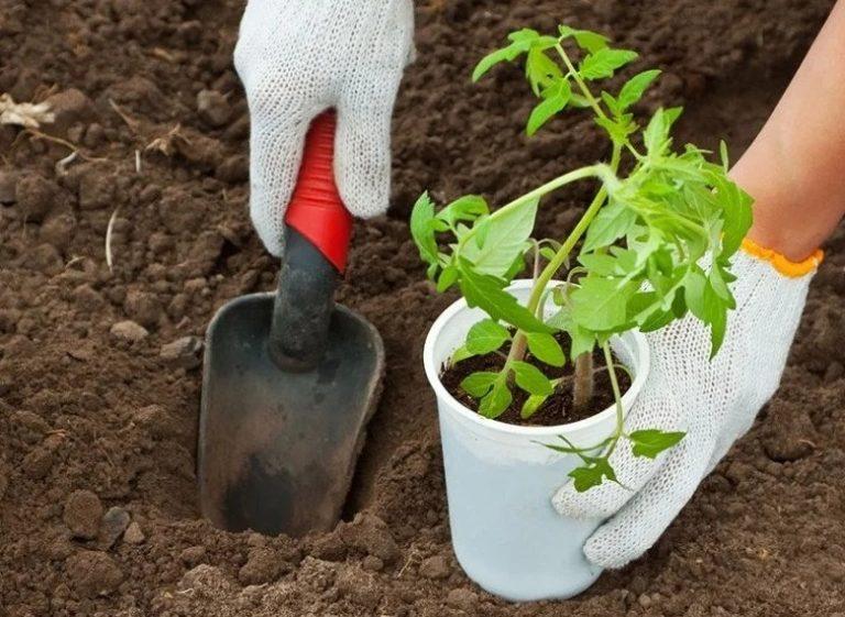 пересадка рассады помидор в марте благоприятные дни