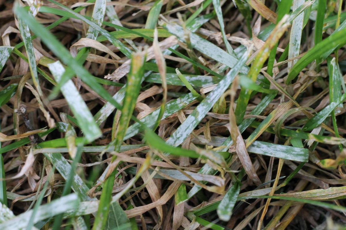 фузариоз на газонной траве