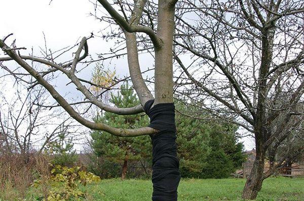Когда можно снимать укрытие с плодовых деревьев