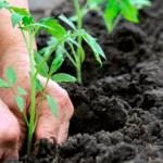 Пересаживать рассаду помидоров в грунт