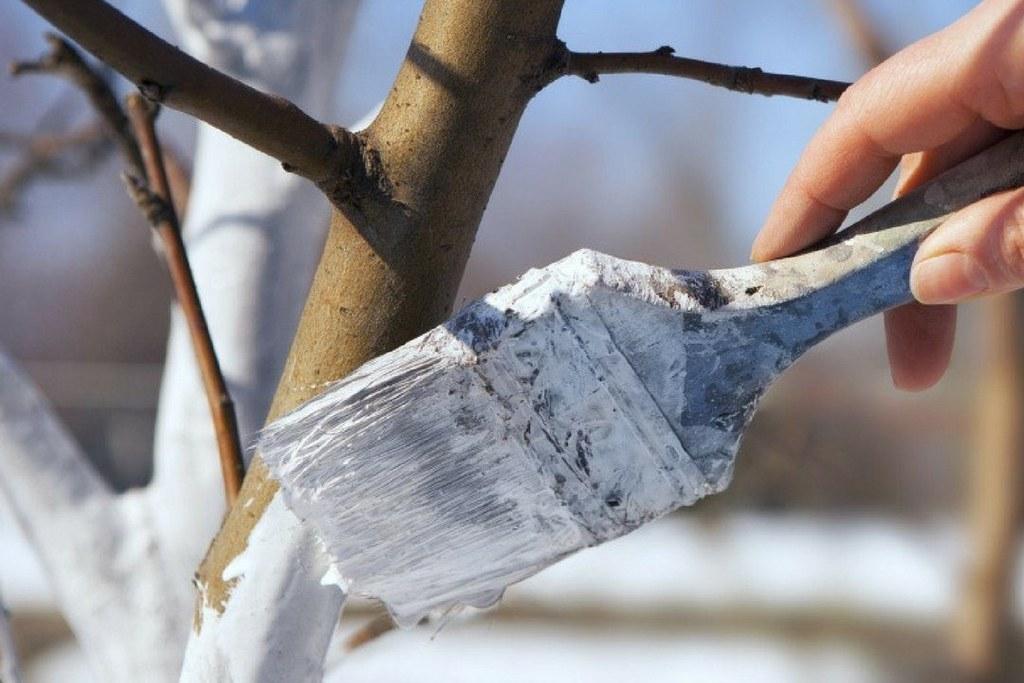 Зимняя побелка деревьев