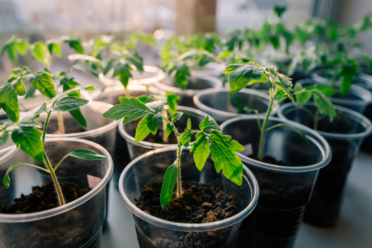 Сроки посадки помидор