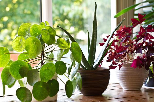 Растения дома, которые укрепят ваше здоровье