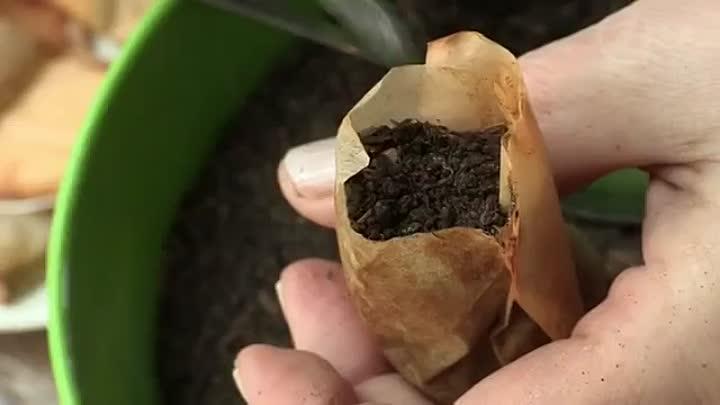 Почему стоит применять чайные пакетики для рассады
