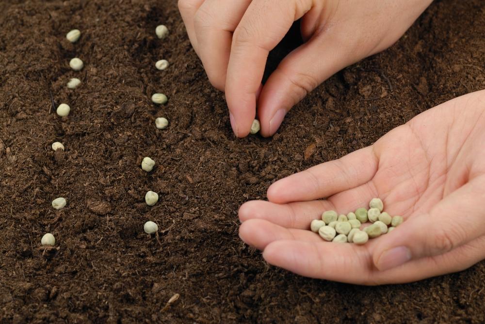 Как и когда сажать горох в открытый грунт семенами по лунному календарю в 2020 году в отдельных регионах