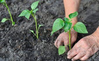 Посадочные дни в марте 2020 для перца: благоприятные дни месяца с учетом региона выращивания и сорта