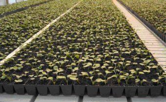 Секреты выращивания редьки и редиски в тепличных условиях
