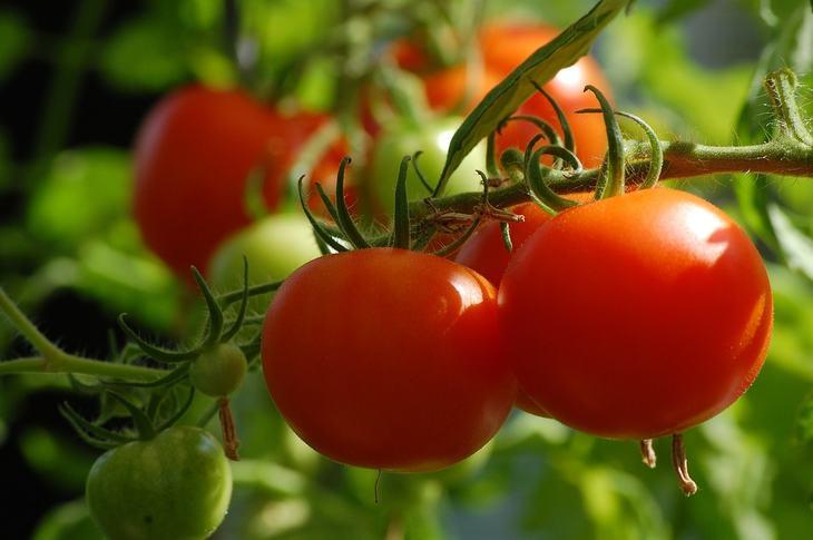 Лучшие сорта помидоров, для которых не страшен фитофтороз
