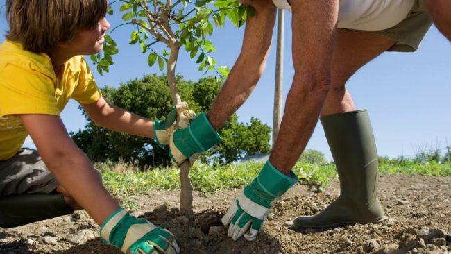 Когда можно начинать посадку деревьев весной