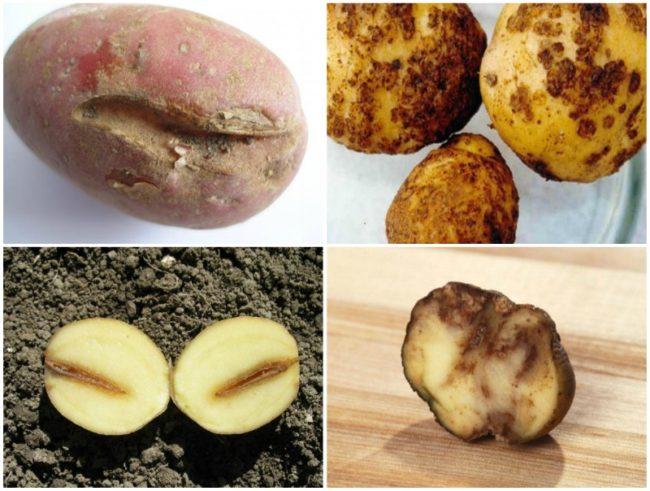 как выглядит картофельная нематода
