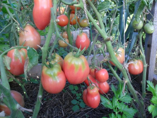 сорт помидоров Огородник