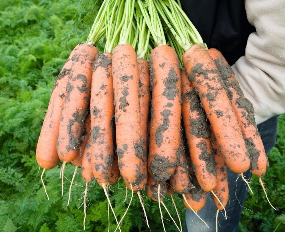 морковь для открытого грунта