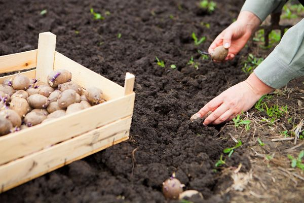Сорта картофеля для жаркого и засушливого лета