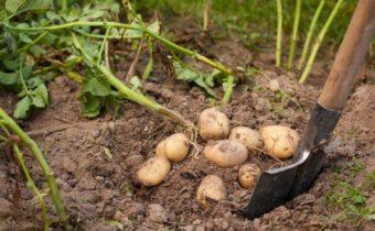 Когда копать картошку в 2020 году по лунному календарю: оптимальные сроки уборки урожая, значение сорта и региона выращивания