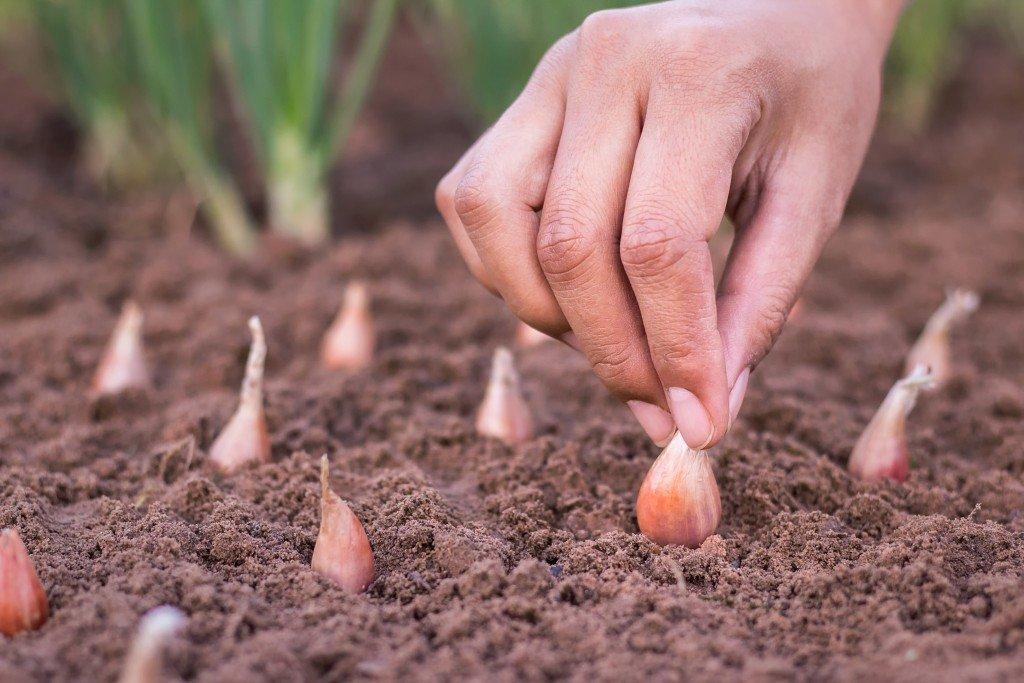 Когда сажать лук севок в открытый грунт в 2020 году: благоприятные дни для посева по фазам луны и советы по уходу