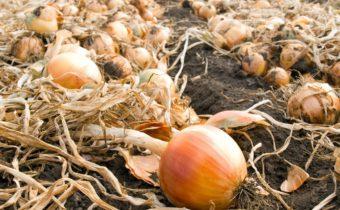 Когда убирать лук посаженный под зиму в 2020 году: выбор благоприятных дней, советы по уборке и хранению