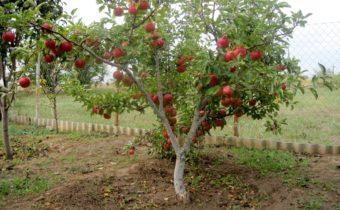 Яблони на маленьком участке: лучшие низкорослые сорта