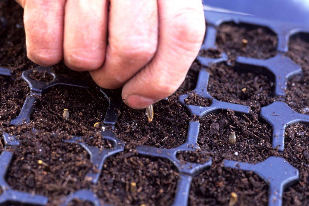 Когда сажать однолетние георгины на рассаду в 2020 году: оптимальные сроки посадки по лунному календарю