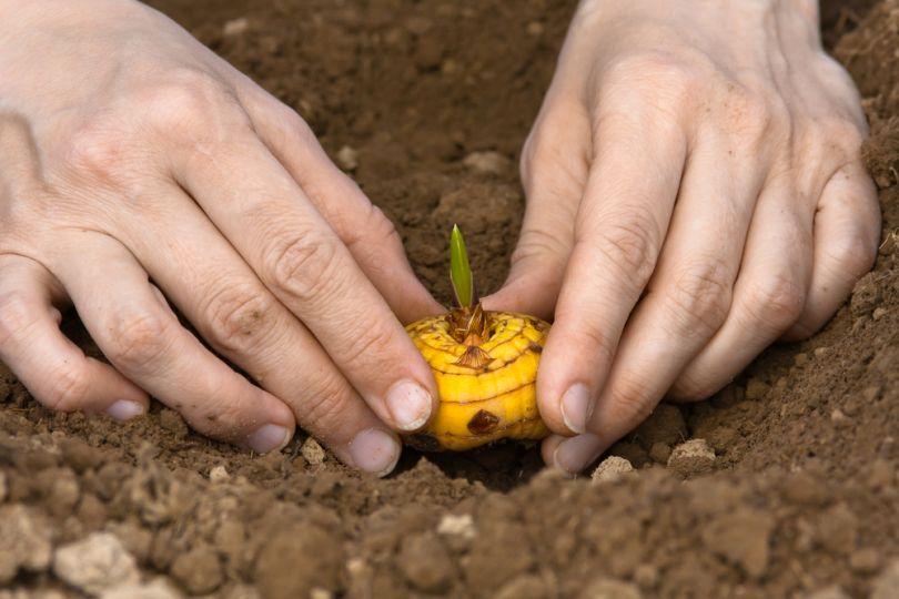 Когда сажать гладиолусы в открытый грунт весной 2020 года: выбор благоприятных дней с учетом региона выращивания и фаз луны