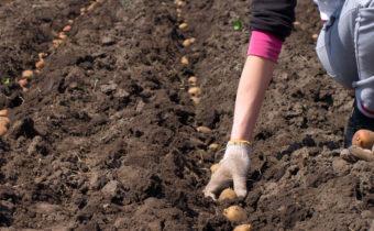 Благоприятные дни для посадки картофеля в мае 2020 года: особенности периода, сроки посадки по лунному календарю и советы