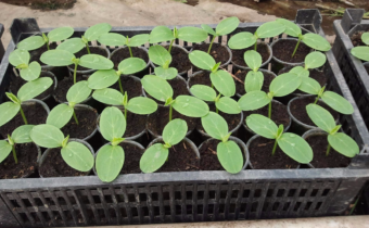 Когда сажать огурцы на рассаду в 2020 году в Подмосковье: особенности климата региона и выбор благоприятных дней по лунному календарю