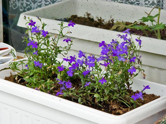 фото цветущей лобелии