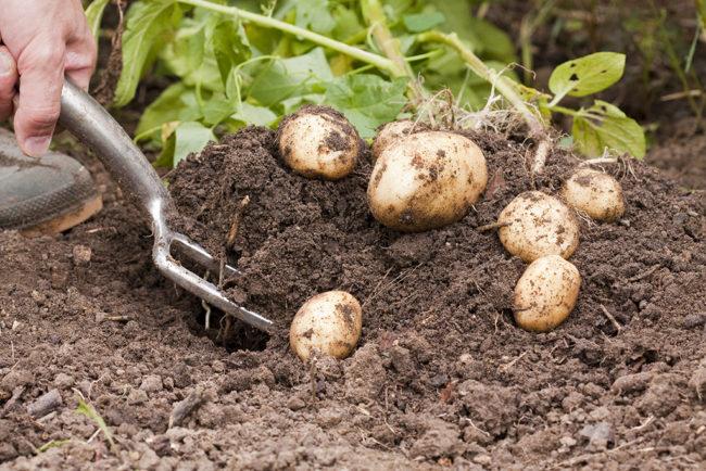 сроки уборки картофеля