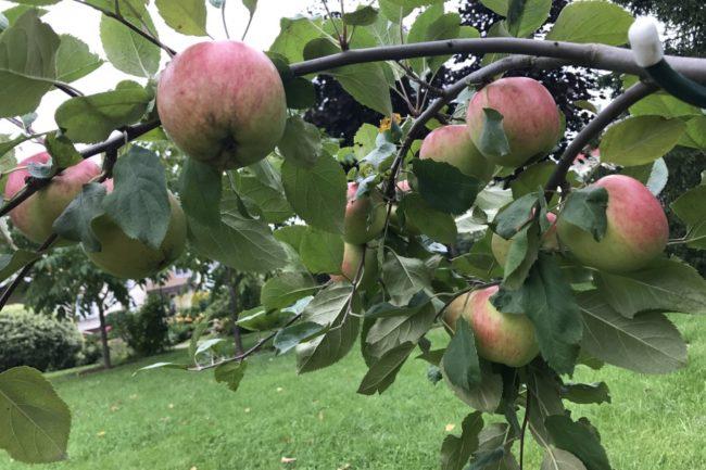 сорт яблонь солнышко