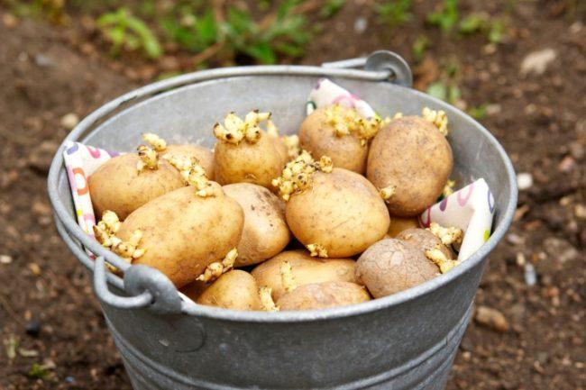 ведро с картофелем на посадку