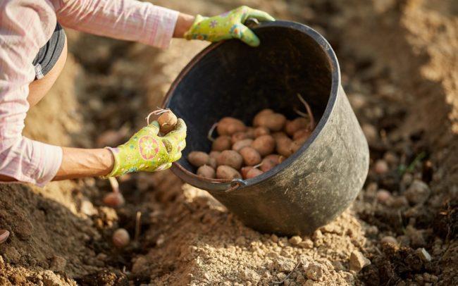 советы по посадке картошки