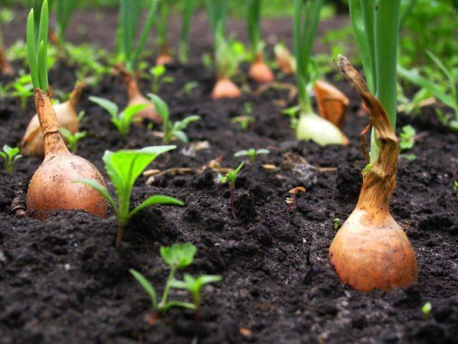выращивание крупного лука из севка