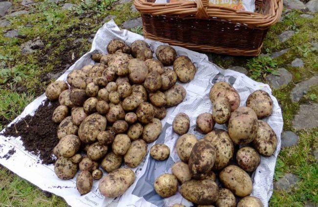 фото урожая картофеля
