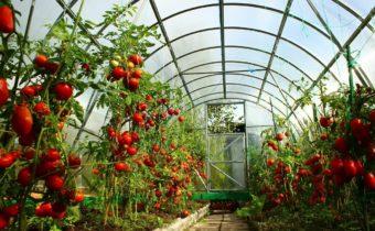 Какие посадить помидоры в теплице и в открытом грунте