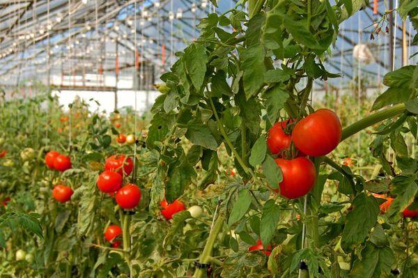 Лучшие сорта томатов для теплиц в Подмосковье