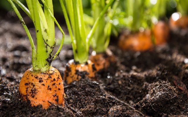 Растет морковь