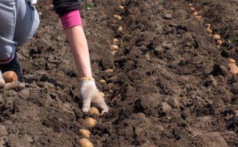 Посадочные дни для картофеля на 2020