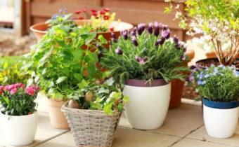sadovye cvety doma
