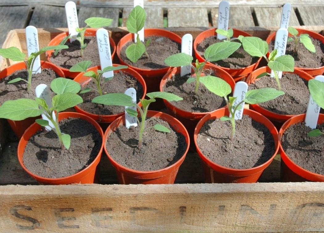 Когда сажать физалис на рассаду в 2020 году по лунному календарю: выбор благоприятных дней и особенности выращивания