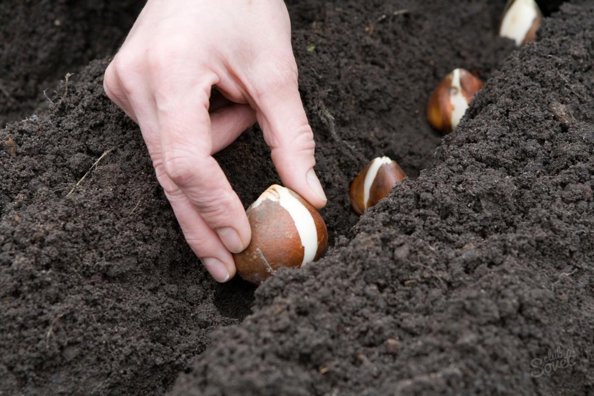 Когда и как посадить тюльпаны весной, чтобы они цвели: благоприятные дни для посадки в 2020 году и особенности ухода
