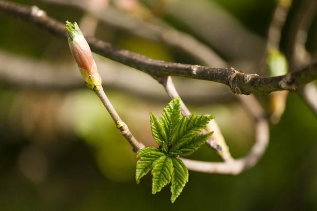 распускаются листья на дереве