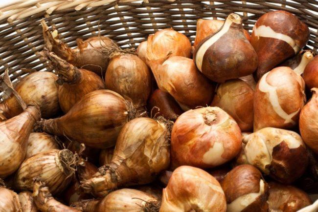 как хранить луковицы тюльпанов