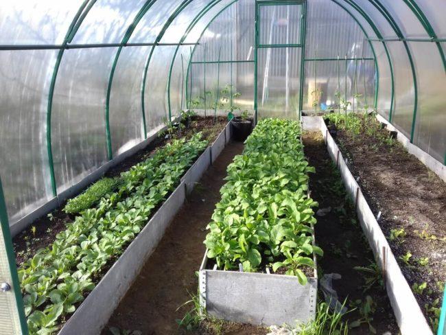 советы по выращиванию редиски в теплице