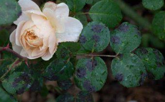 Черная пятнистость на розах: как спасти цветы