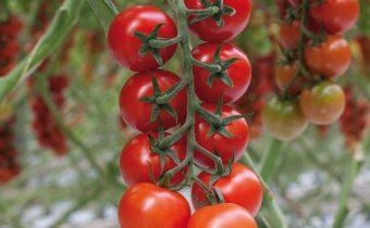 Что такое коктейльные томаты